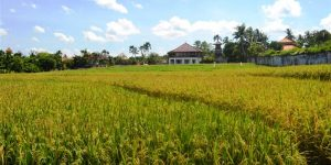 Land for sale in Canggu Bali 2,360 m2 with close to the beach